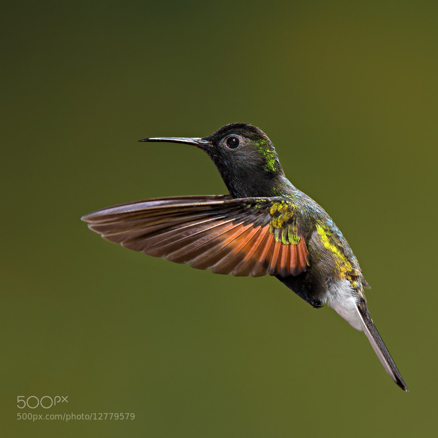 Photograph Male Black Bellied Hummingbird by Hali Sowle on 500px