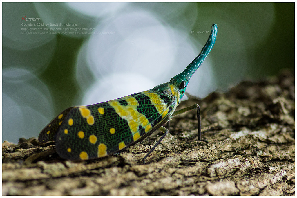 Photograph  FULGORID  PLANTHOPPERS by Suwit Gamolglang on 500px