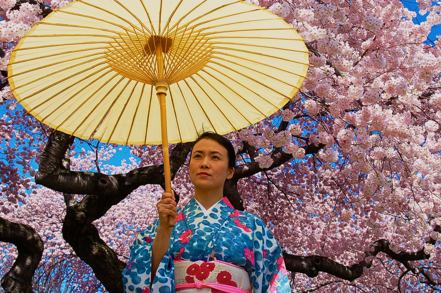 Photograph Kimono Elegance Beneath Cherry Blossoms by Chase Guttman on 500px