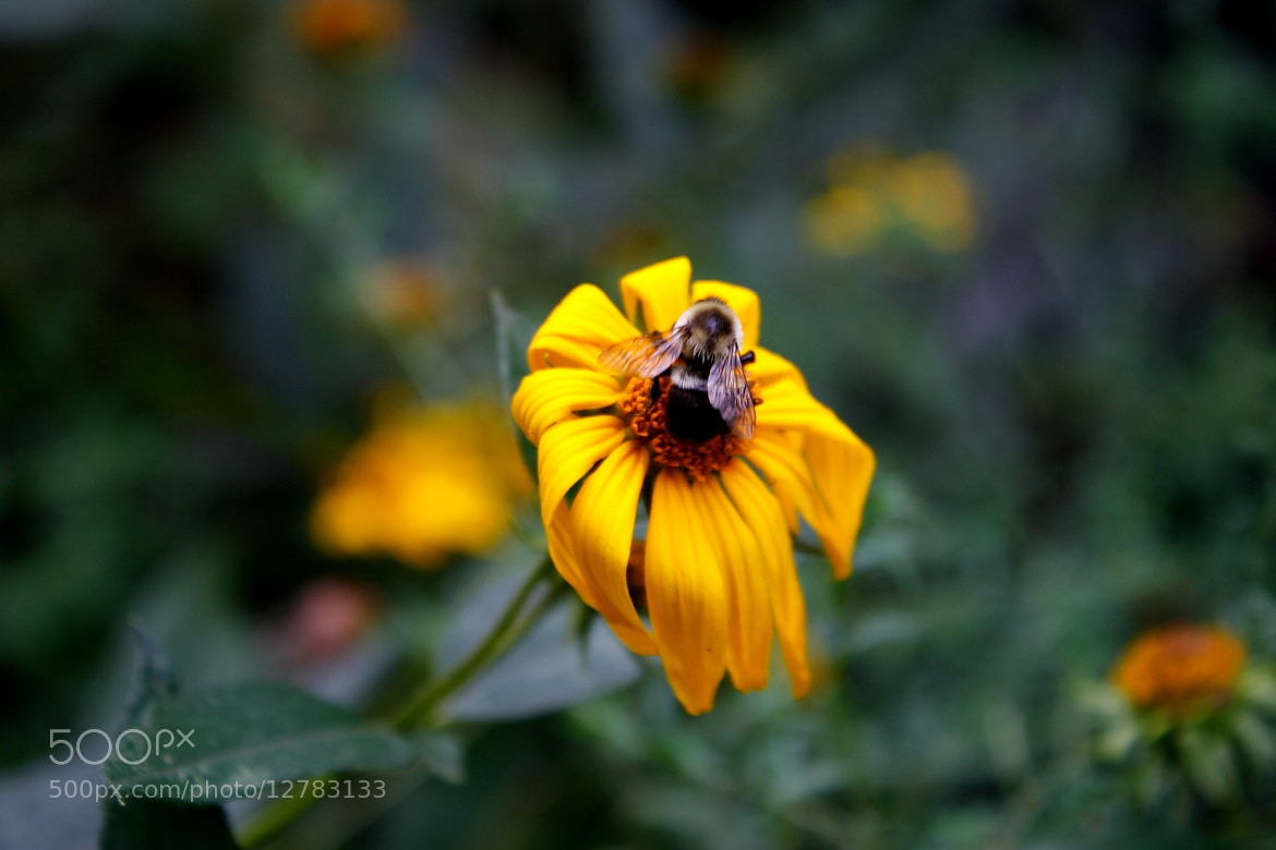 Photograph The Bee Wilts the Flower by Nicholas Santasier on 500px