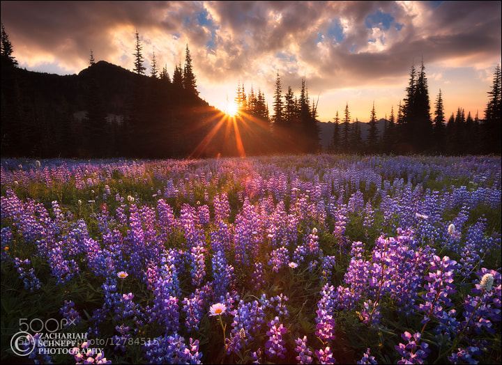 Photograph Lupine Sunrise by Zack Schnepf on 500px
