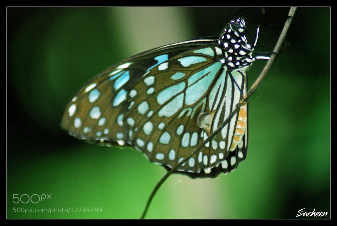 Photograph butterfly by Sacheen Vaidya on 500px