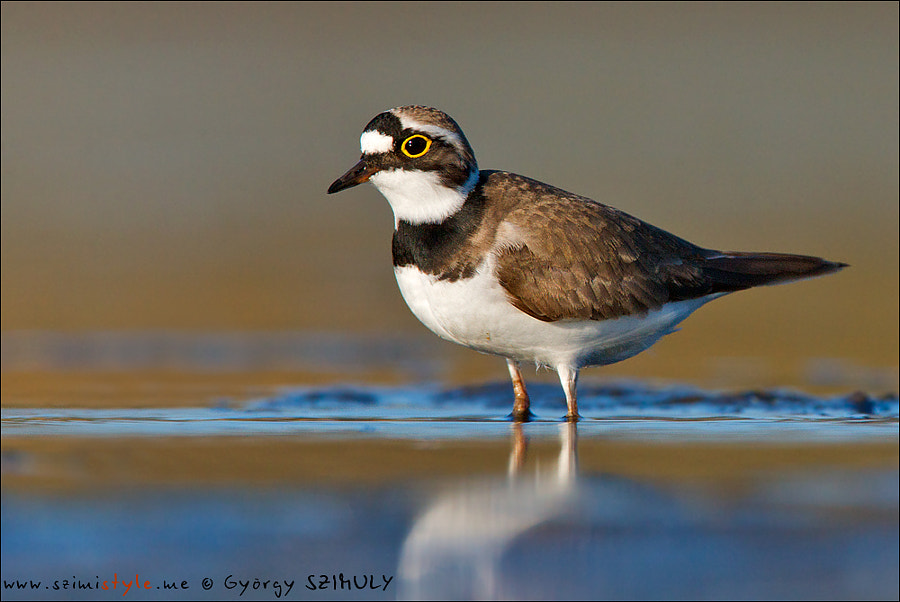 Photograph Little Ringed Plover (Charadrius dubius) by Gyorgy Szimuly on 500px