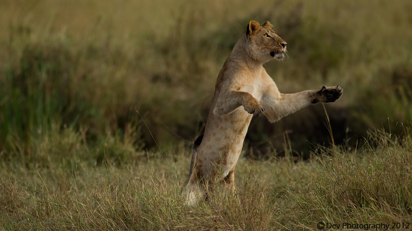 Photograph standing lioness by Dev Raj on 500px