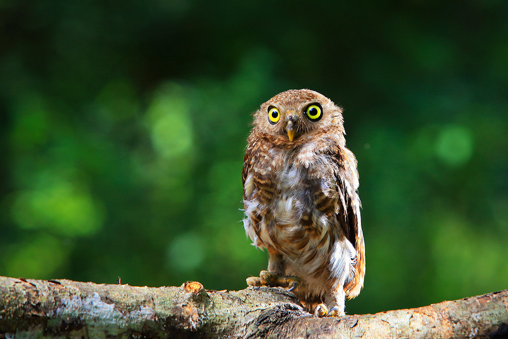 Photograph Owl by Saravut Whanset on 500px