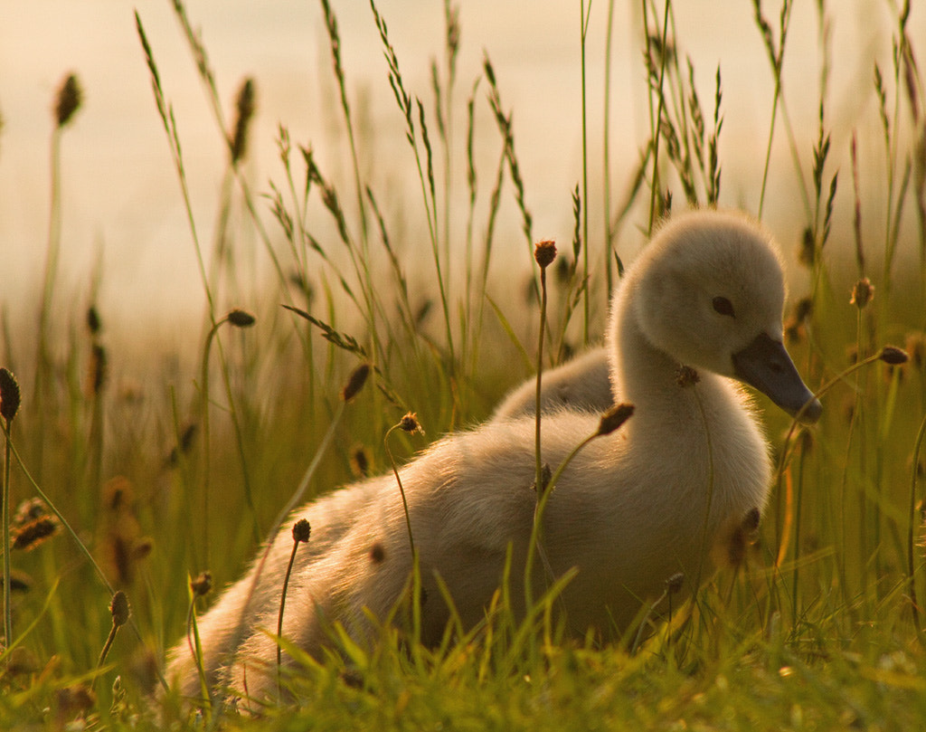 Photograph Cygnets on parade by Julie Hill on 500px