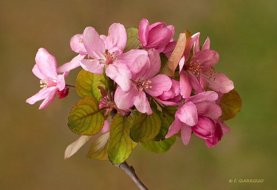Photograph Malus flowers by Fabio Giarrizzo on 500px