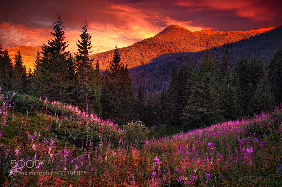 Photograph Mountain flowers in pine forest by Sergiy Trofimov on 500px