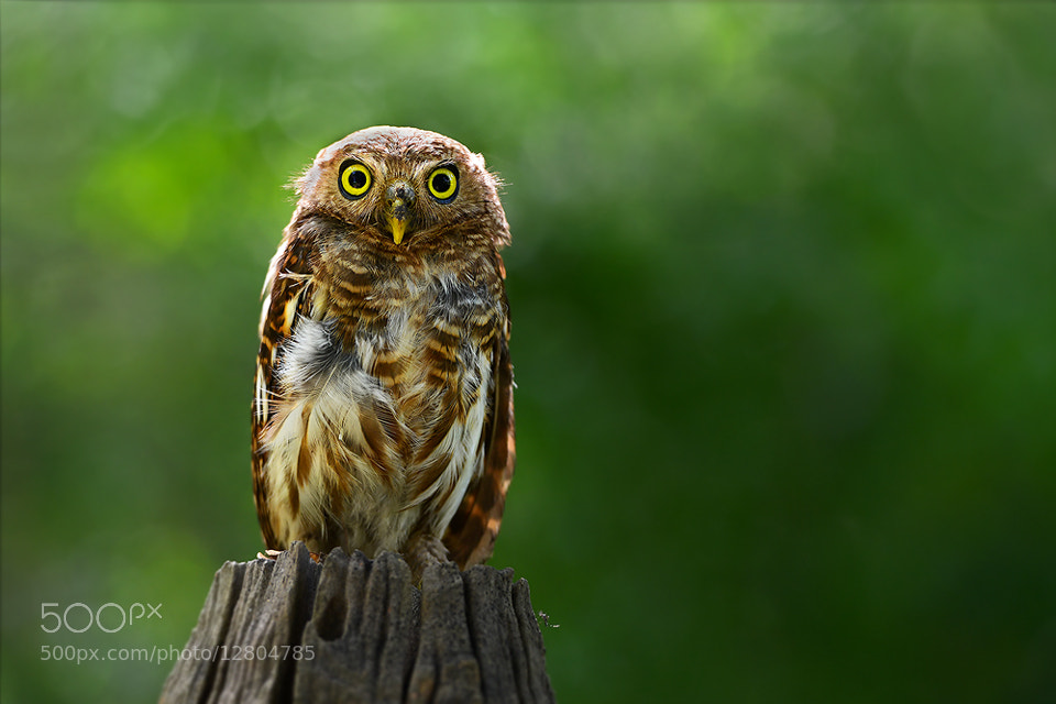 Photograph Owl......Cute by sarawut Intarob on 500px