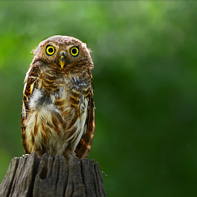 Owl......Cute by sarawut Intarob (sarawutkaka)) on 500px.com