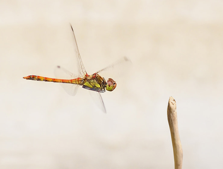 Photograph Dragon in fly by Soheil Shahbazi on 500px