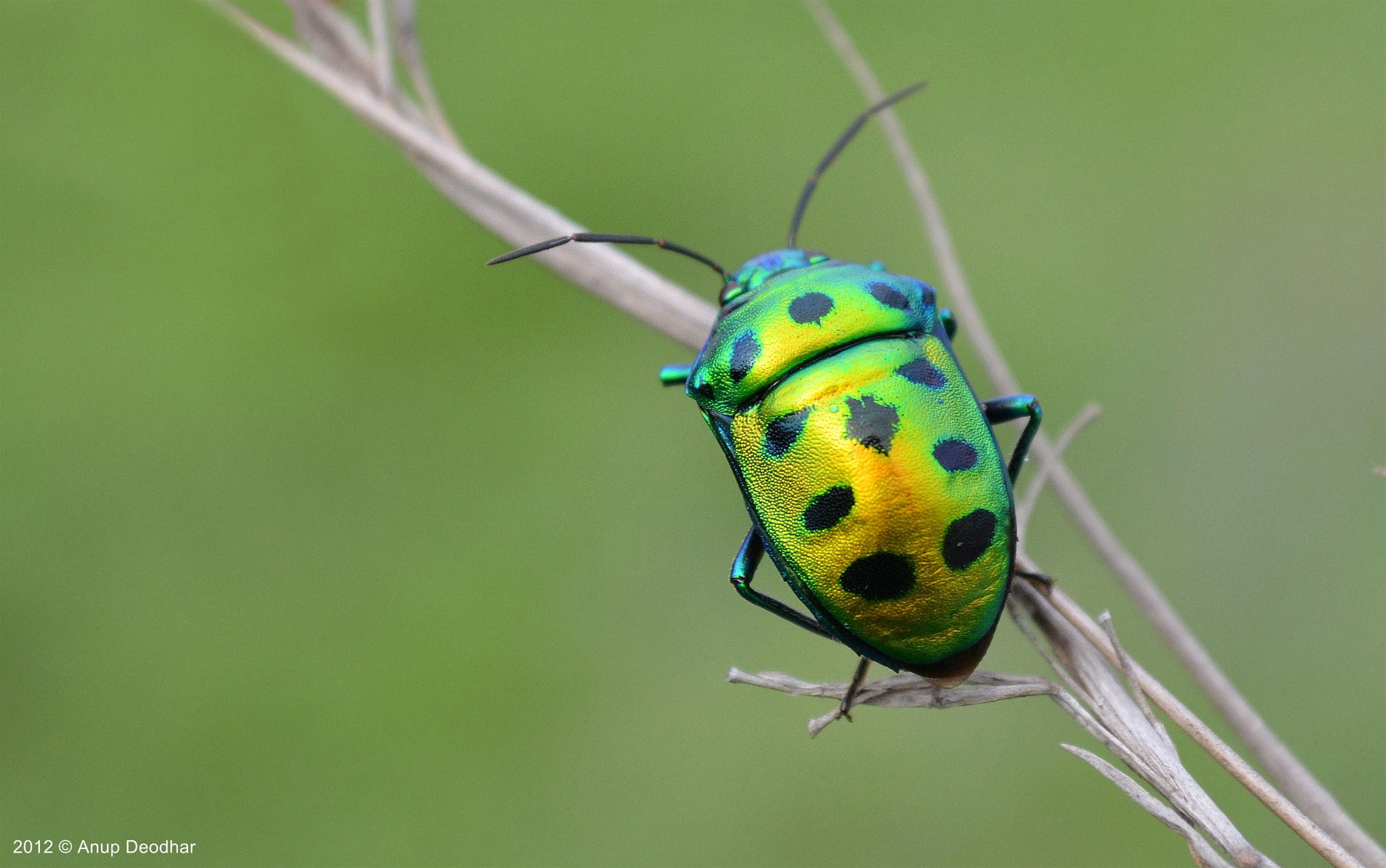 Photograph Jewel Bug by Anup Deodhar on 500px