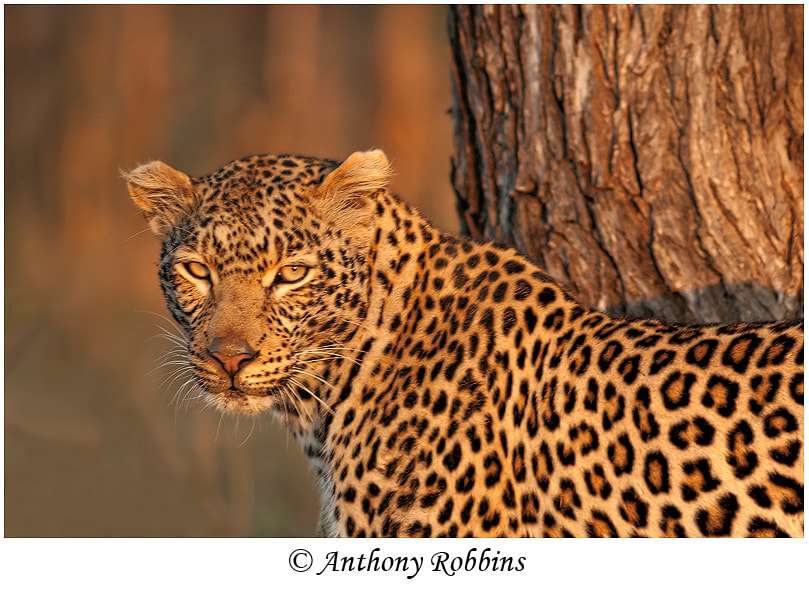 Photograph Leopard by Anthony Robbins on 500px
