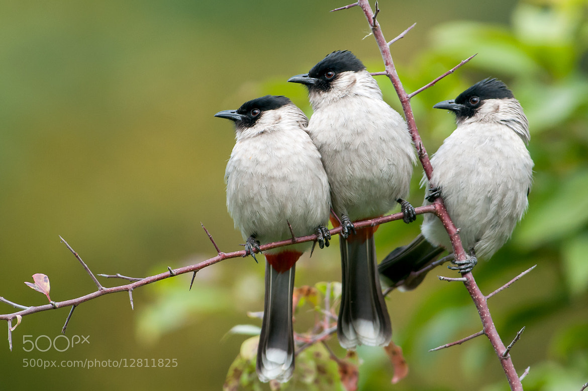 Photograph Bulbul ≔☺☺☺⇒ by Ken Cheung on 500px