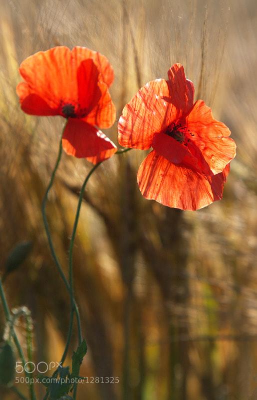 Photograph Poppy by Karol Bryd on 500px