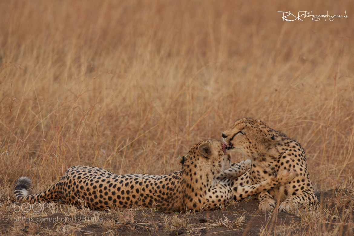 Photograph Cheetah's by Jo Knight on 500px
