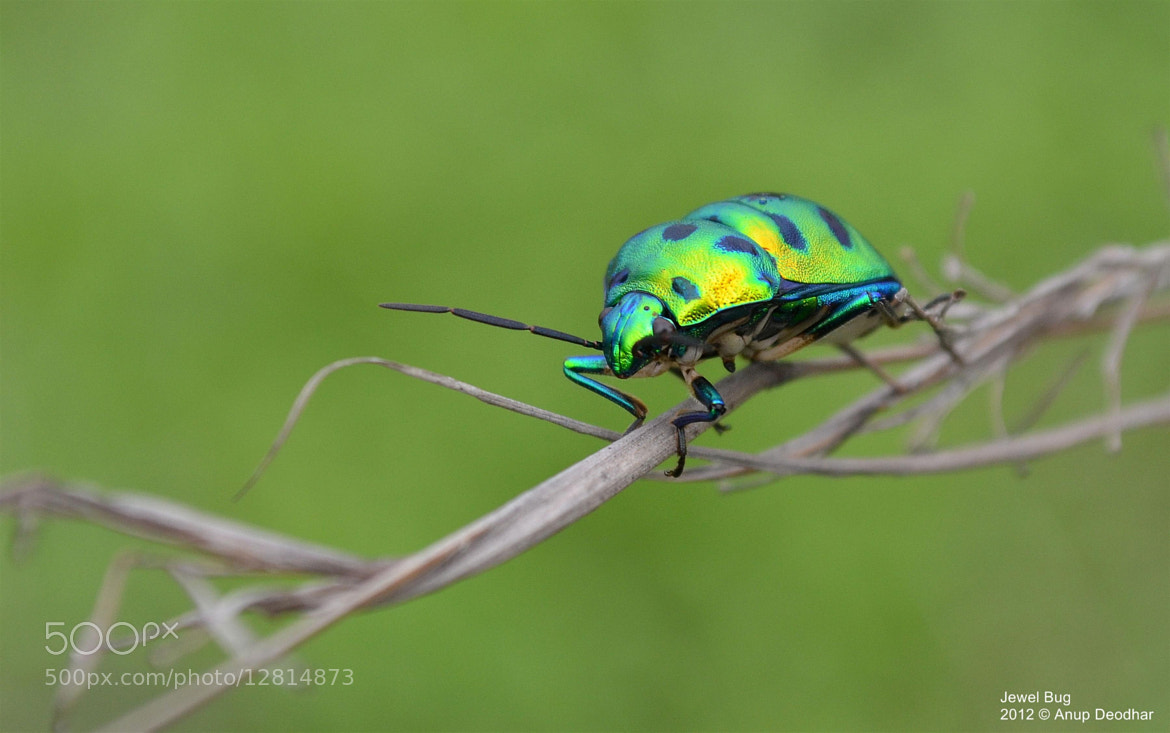 Photograph The Jewel Bug by Anup Deodhar on 500px