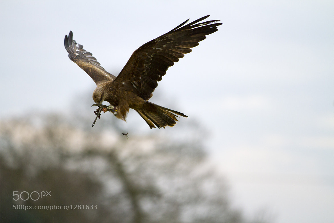 Photograph Red Kite Eating Middair by Paul Roberts on 500px