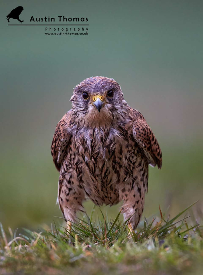 A wet Kestrel standing in the rain...