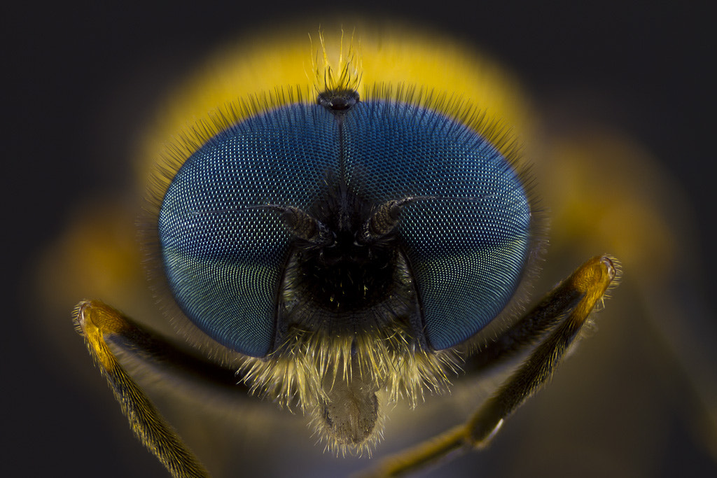 Photograph chloromyia formosa by Cédric Nouvel on 500px