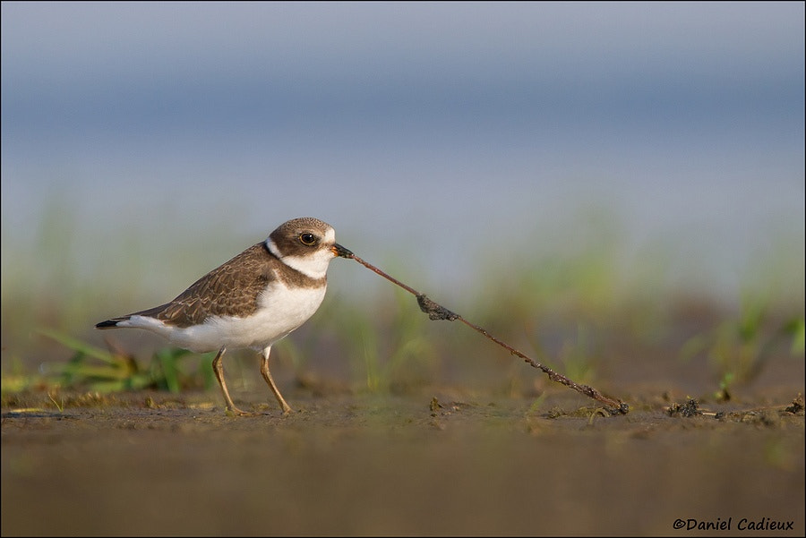 Photograph Semipalmated Plover Tug-O-Worm by Daniel Cadieux on 500px