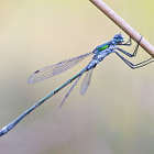 An Emerald Damselfly, or Common Spreadwing (Lestes sponsa) hanging from some reed.