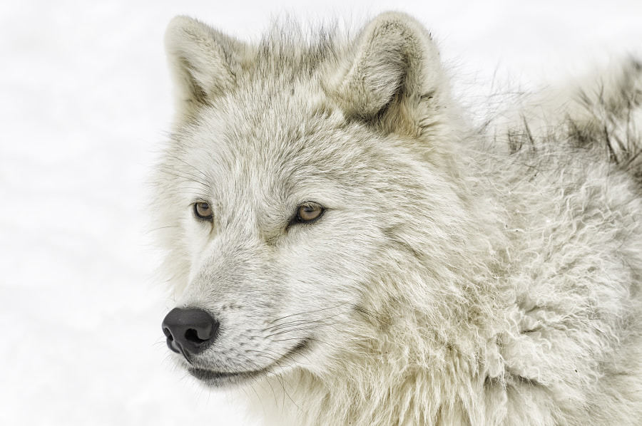 Arctic wolf portrait by Daniel Parent on 500px.com