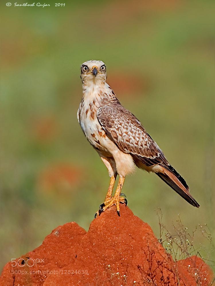 Photograph White Eyed Buzzard by Santhosh Gujar on 500px