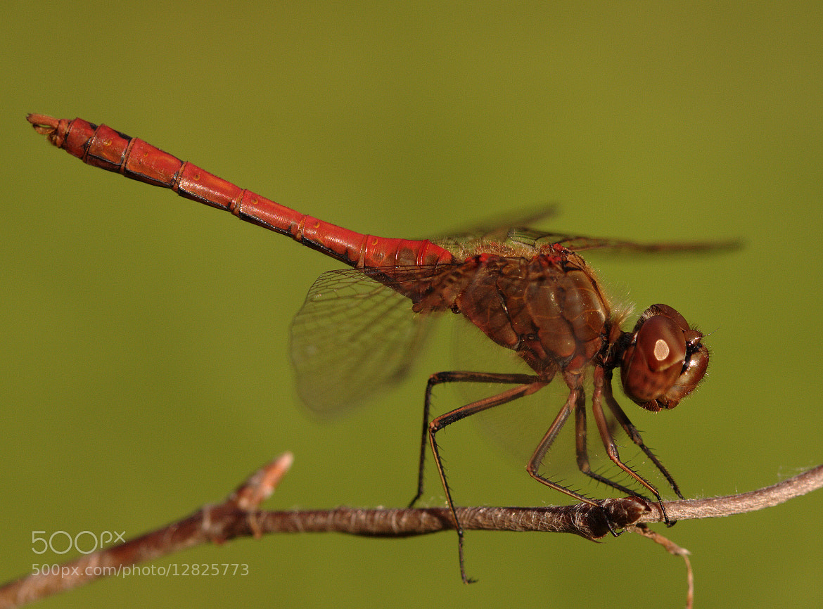 Photograph Dragonfly by Harm Oosterhuis on 500px