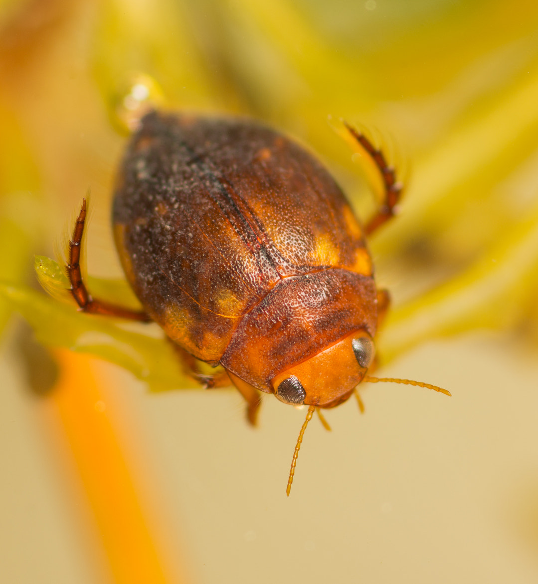 Photograph hyphydrus ovatus diving beetle by Neil Phillips on 500px