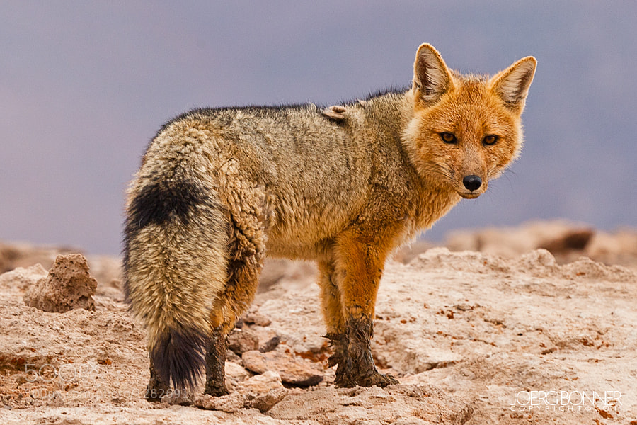 Photograph Andean Red Fox Portrait by Joerg Bonner on 500px