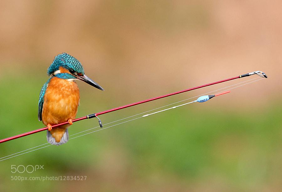 Adult male Kingfisher on fishing rod