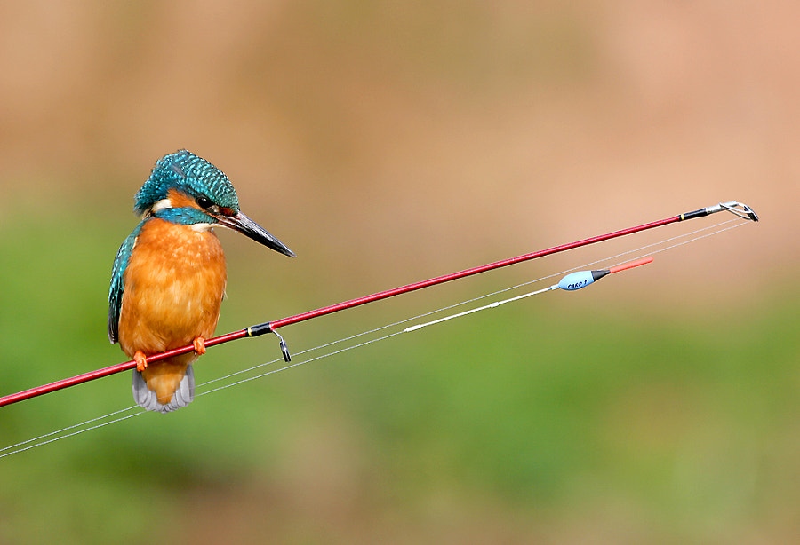 Adult male Kingfisher on fishing rod