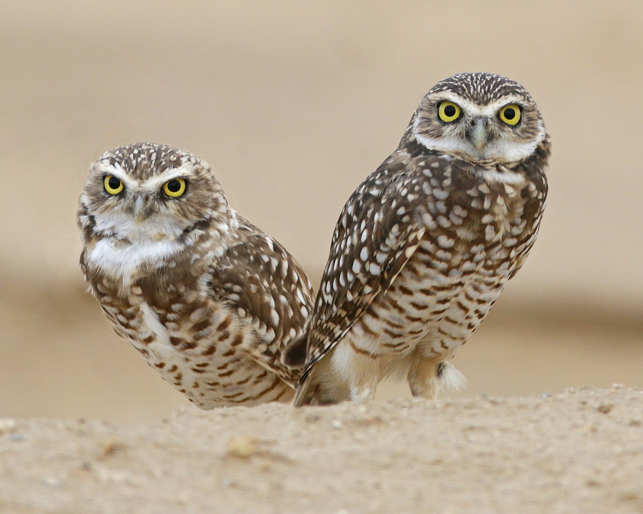 Burrowing Owls by  Windemuth on 500px.com