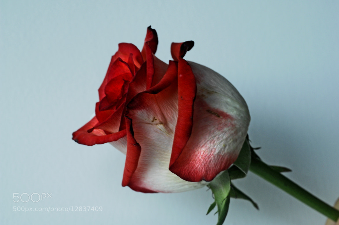 Photograph Old Rose by Cristobal Garciaferro Rubio on 500px