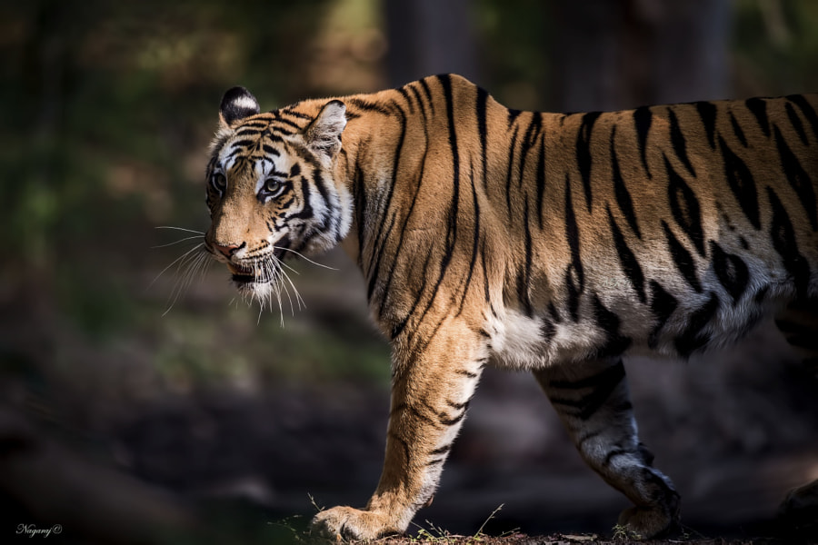 My first tiger by Nagaraj Chindanur on 500px.com