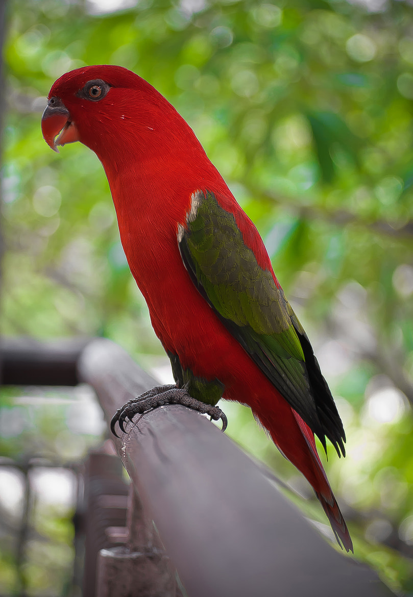 Photograph Red Parrot by Charlz Photography on 500px