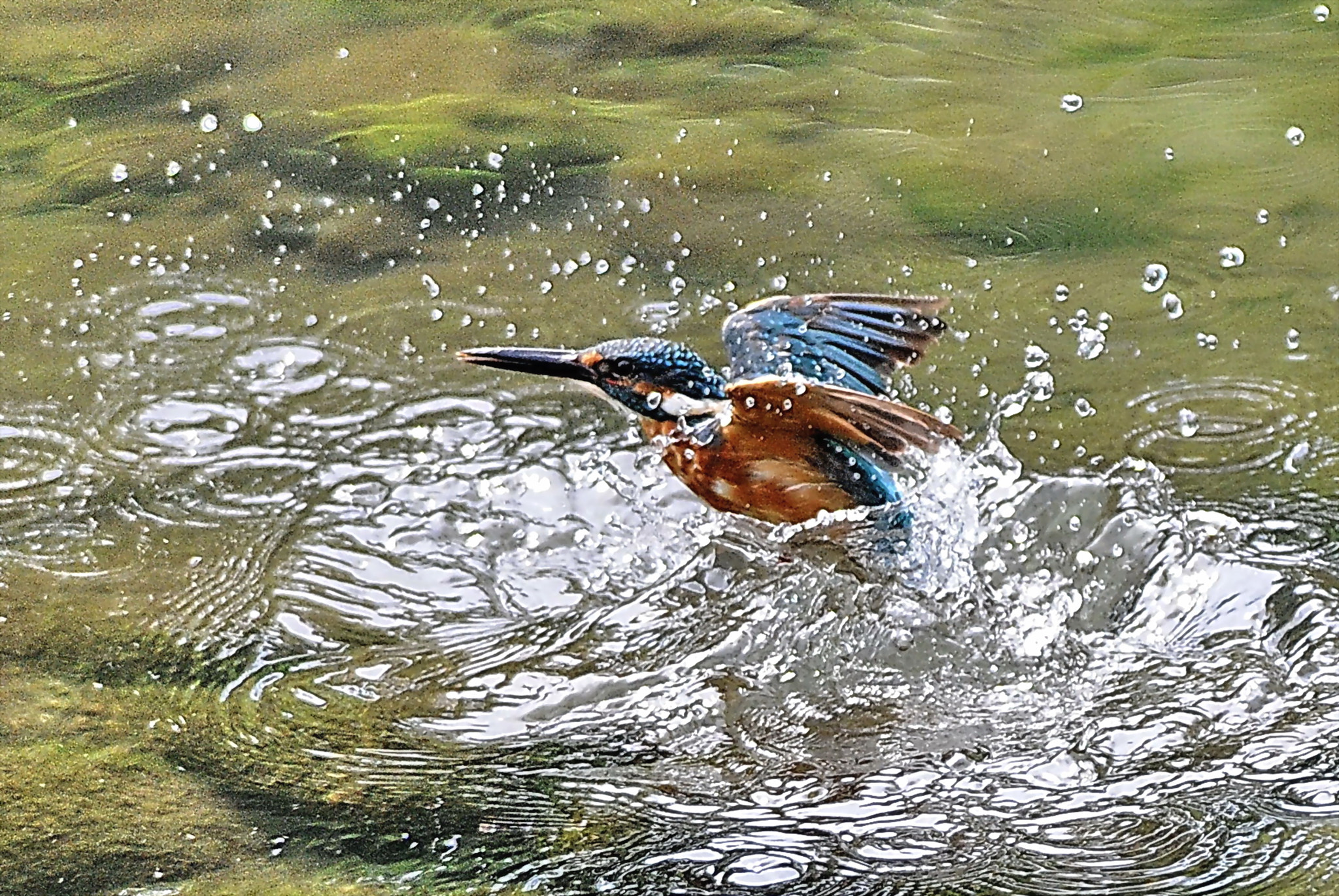 Photograph Kingfisher bathing by KEN OHSAWA on 500px