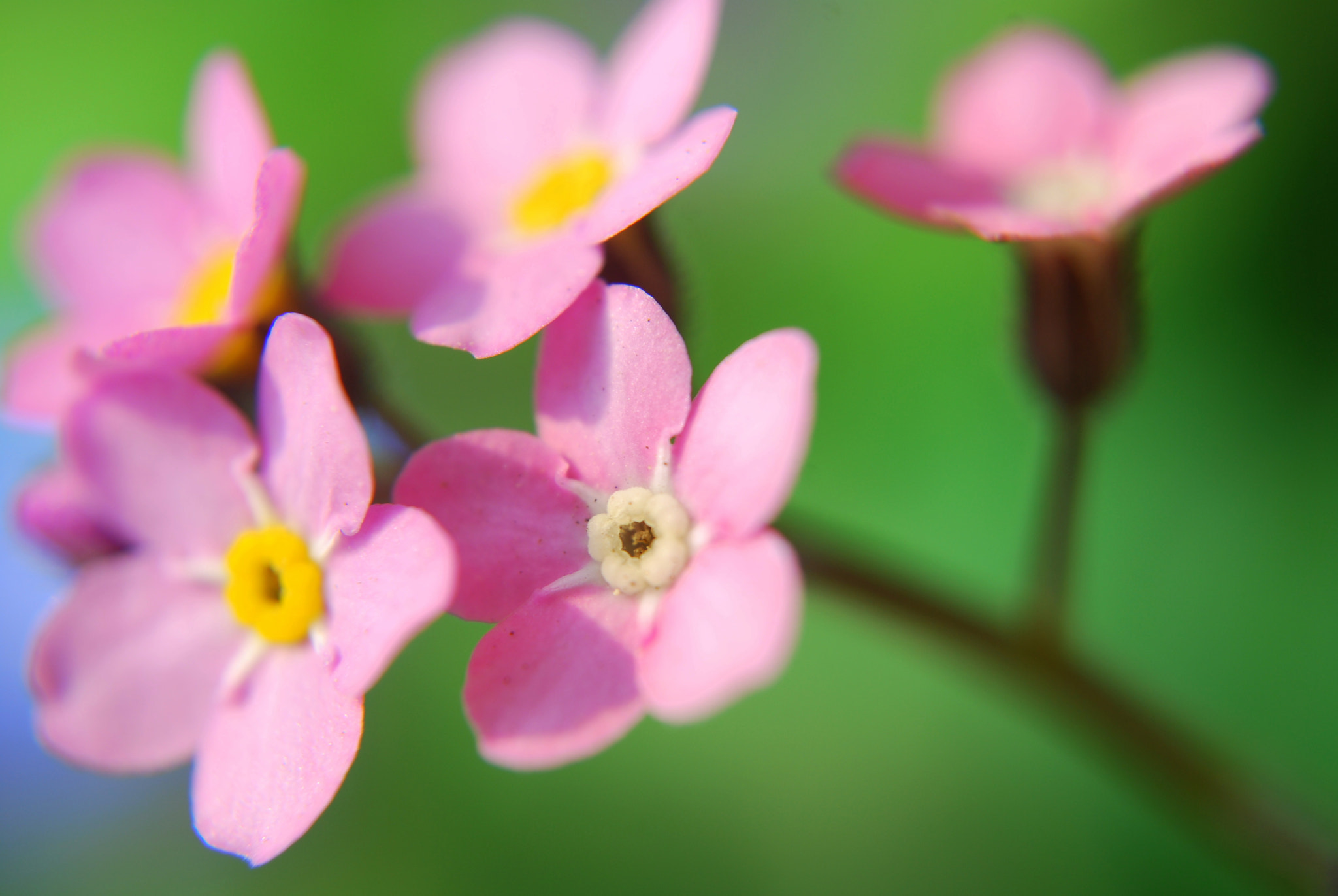 Photograph Pink forget-Me-Not by rosanna zavanaiu on 500px