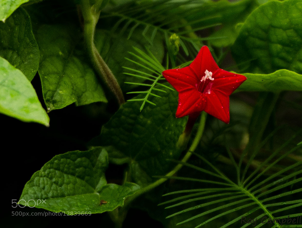 Photograph Cypress Vine by Ray Campbell on 500px