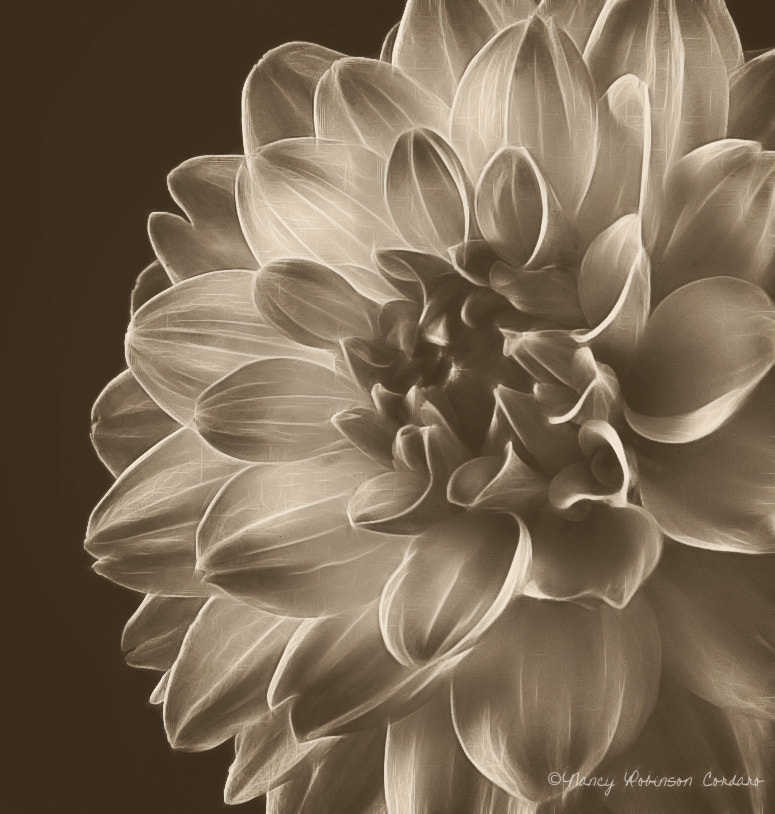 Photograph The Black (and white) Dahlia by Nancy Cordaro on 500px
