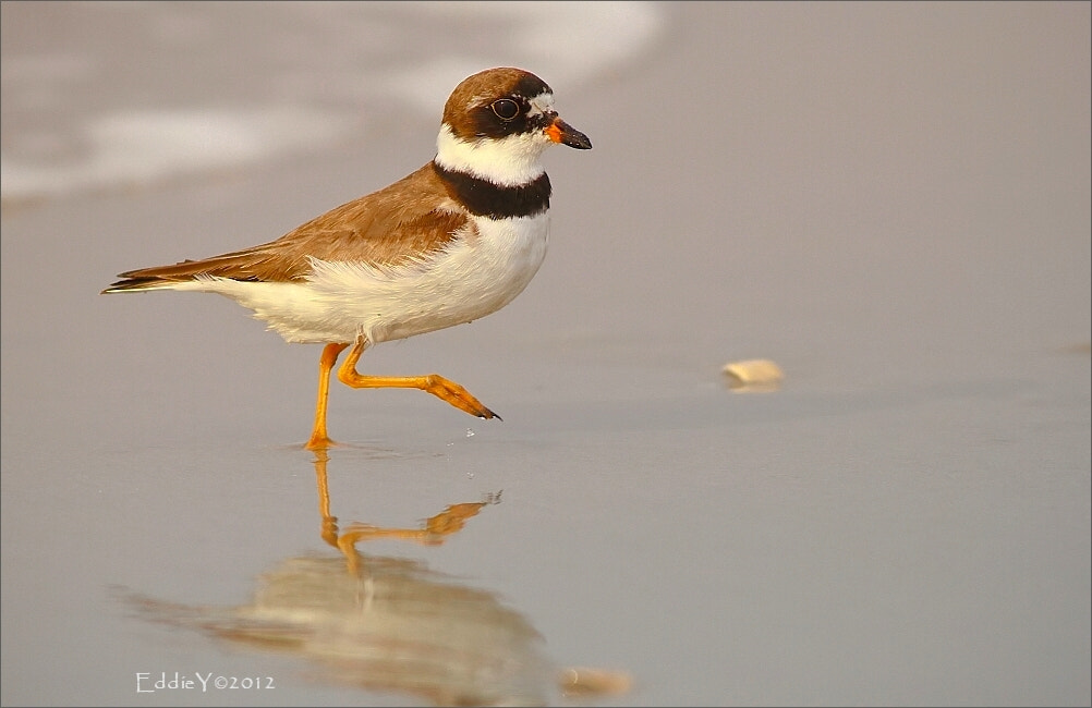Photograph Semipalmated Plover by Eddie Yu on 500px