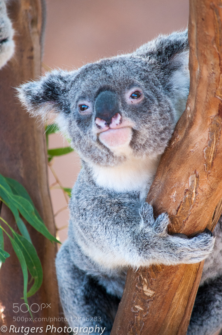 Photograph Koala Bear by Ian Rutgers on 500px