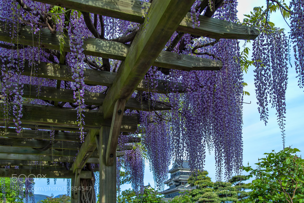 Photograph Wisteria by MIYAMOTO Y on 500px