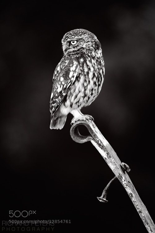 Photograph Mono Owl by Richard Peters on 500px
