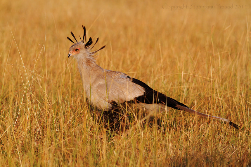 Photograph The Secretary Bird.. by Shantanu Prasad on 500px
