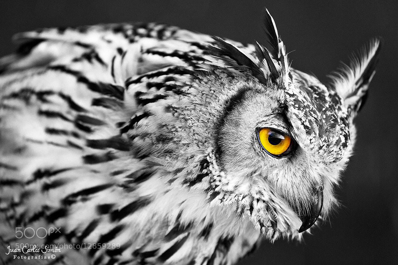 Photograph Búho de Bengala (Owl Bengal) by Juan Carlos Simón on 500px