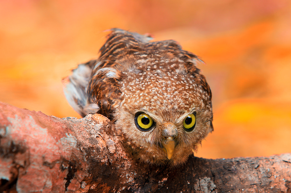 Photograph The little Owl by Saravut Whanset on 500px