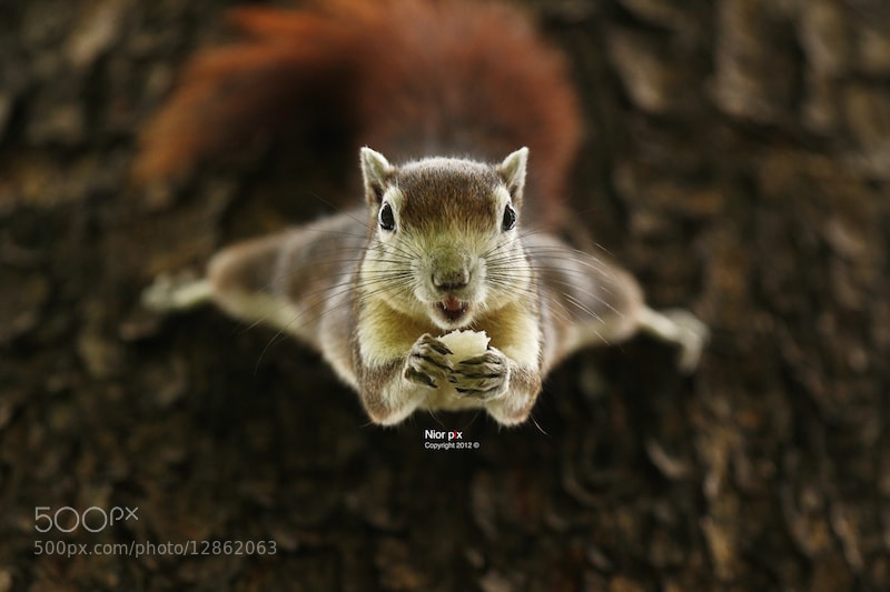 Photograph Hanging squirrel by Setsiri Setthachinda on 500px