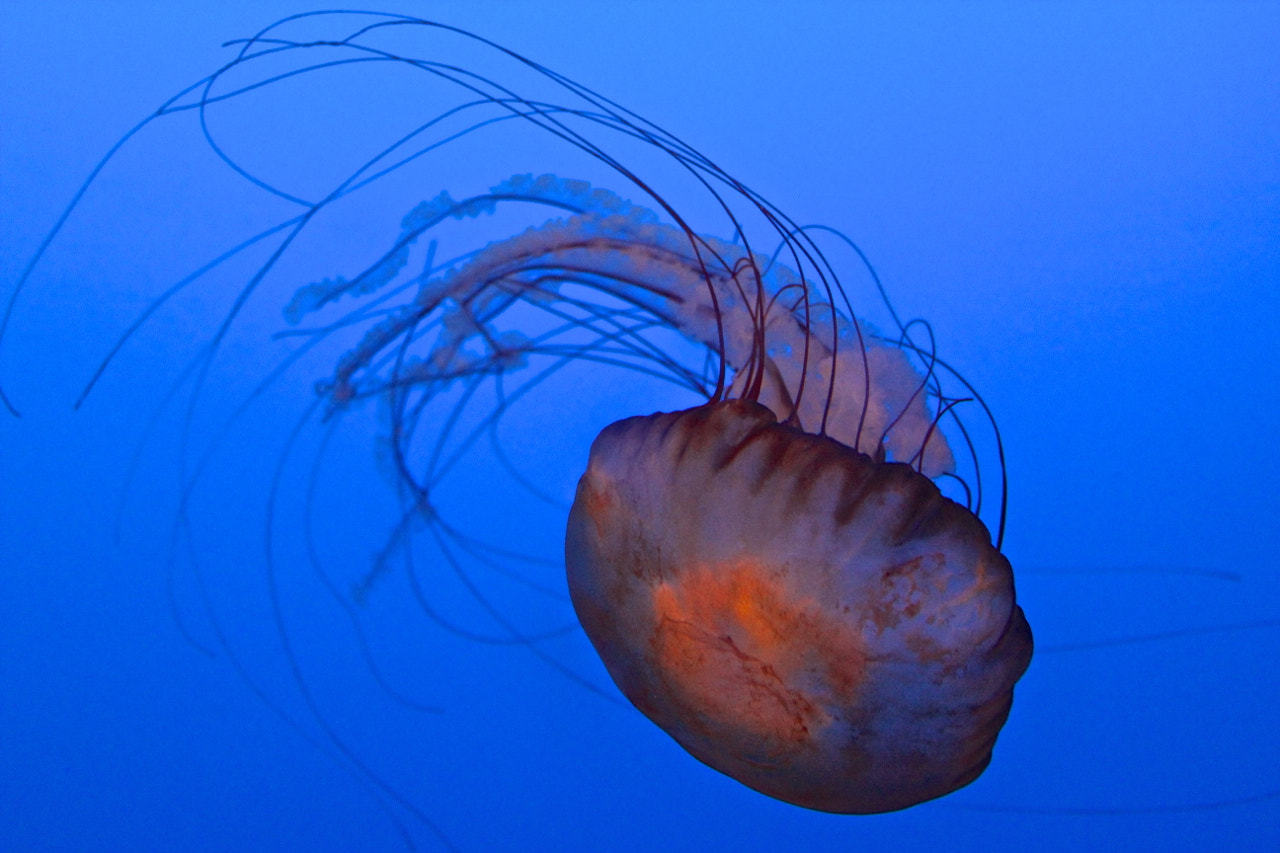Photograph Jellyfish by Vin (subwarm) on 500px